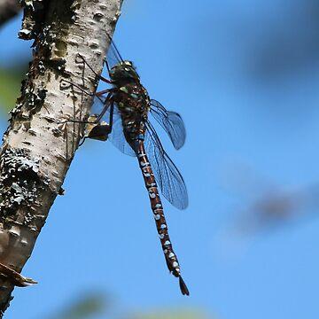 Darner Dragonfly by hummingbirds