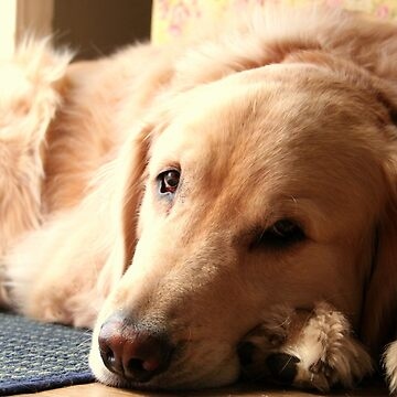 Golden Retriever Dog by anitahiltz