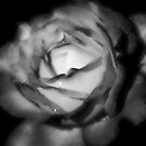 Black and White Rose by Amber D Meredith Photography