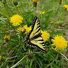 Dandelions and the Beautiful Swallowtail by Vickie Emms