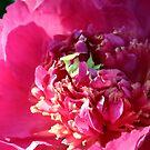 Pretty Pink Peony by Stephen Thomas