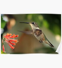 Hummingbirds and Honeysuckles Poster
