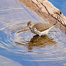 Spotted Sandpiper by Alyce Taylor