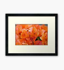 Orange Bougainville Framed Print