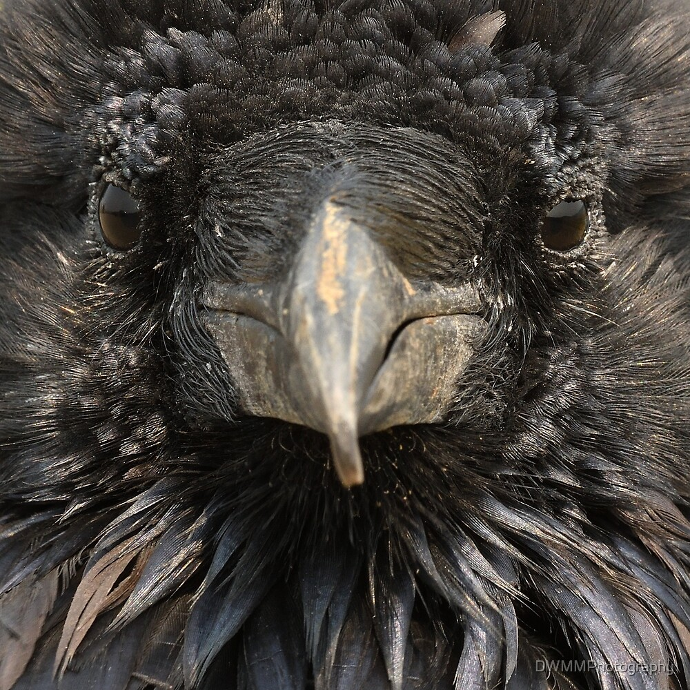 Raven's Face by DWMMPhotography