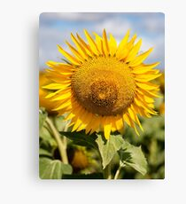 Sunflower - Nobby, Australia Canvas Print