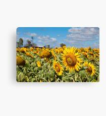 Sunflower Fields - Nobby, Australia   Canvas Print