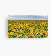 Sunflower Field - Nobby, Australia   Canvas Print