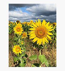 Sunflower Field - Nobby, Australia   Photographic Print