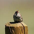 Savannah Sparrow by Alyce Taylor