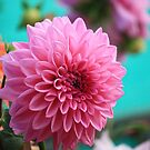 Pink Dahlia by Indrani Ghose