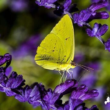 Yellow Butterfly on Purple Flower by imagetj