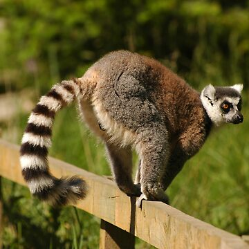 Ring-tailed Lemur by memphisto