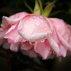 Pink rose with raindrops by Agnes McGuinness