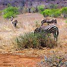 3 Zebras by Dan Shiels
