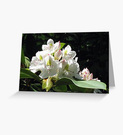 Native Pennsylvania Rhododendron Greeting Card