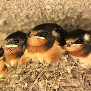 Baby Barn Swallows by umpa1