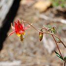 Wild Red Columbine Flower by BellaStarr