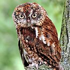 Portrait of a Screech Owl by Lanis Rossi
