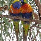 Parrots Leith Park Victoria 20180507 2725  by Fred Mitchell