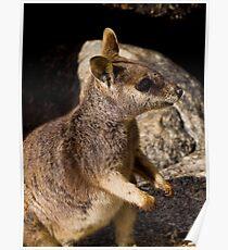 Rock Wallaby - Mareeba Poster