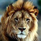 Majestic Lion by Judson Joyce
