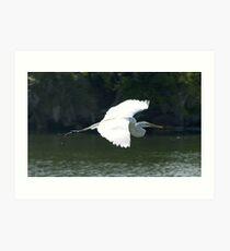 Great White Heron in flight Art Print