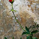 CLIMBING ROSE by ZannaLea