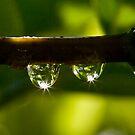 Elder dewdrops by David Clarke