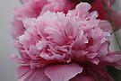 Pink Double Poppy by AnnDixon
