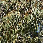 Eucalyptus Leaves by Margaret Stevens