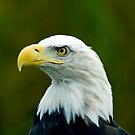 Bald Eagle by Beverly Lussier