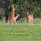 Whitetails 2018-2 by Thomas Young