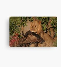 Lion Kill Canvas Print