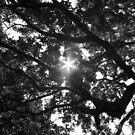 Black and White Sun Burst through Canopy by BTaberham