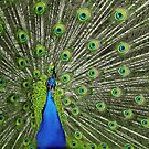 Peacock wide by Henry Jager