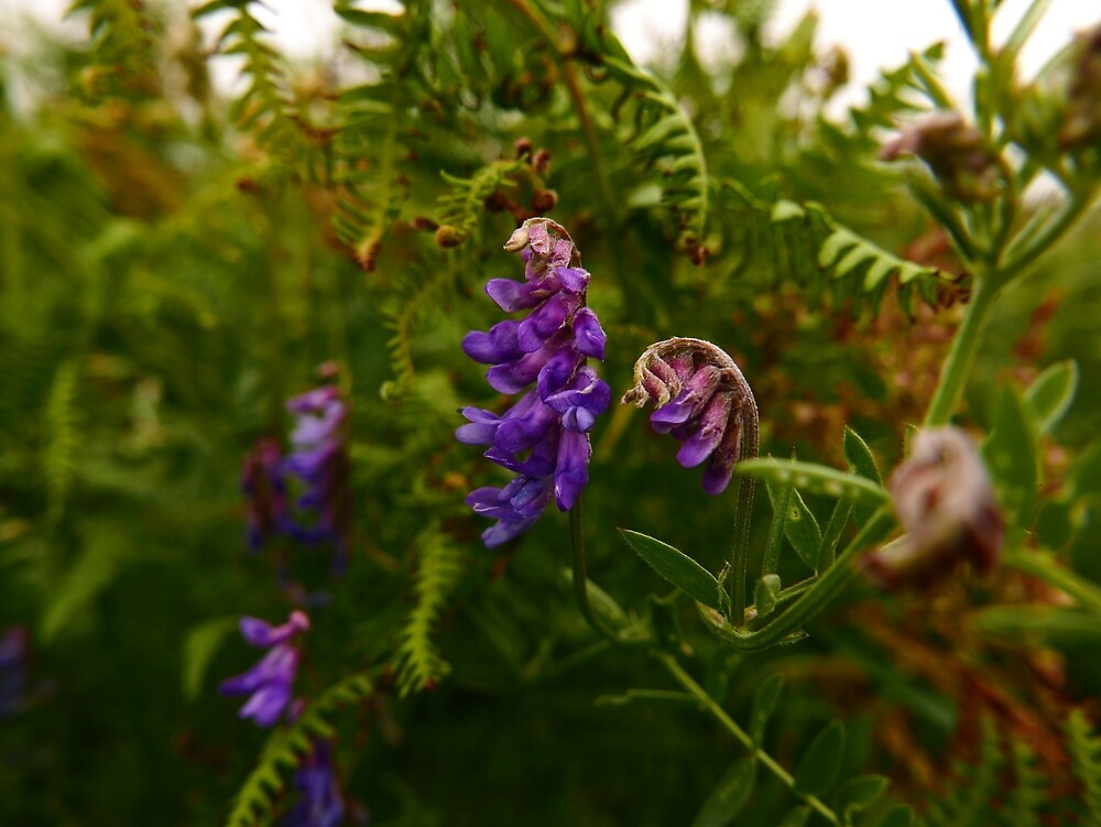 Tufted Vetch (Vicia cracca) by IOMWildFlowers