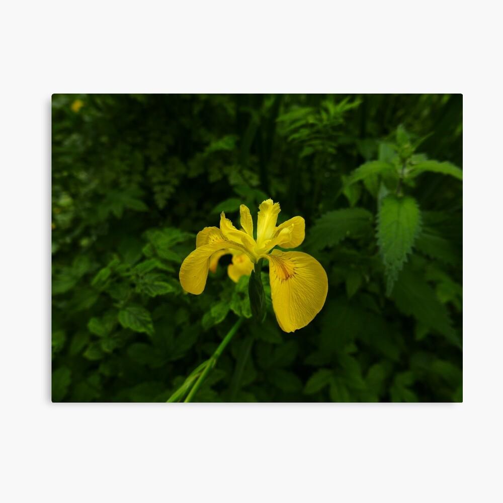 Yellow Iris (Iris pseudacorus) Canvas Print