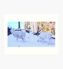 Dall Sheep Rams Art Print