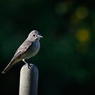 spotted flycatcher by Andrew Jones