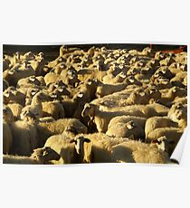 Count the Sheep Poster