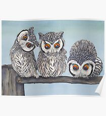 White Faced Scops Owls Poster