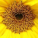 sunflower  by Suzanne German
