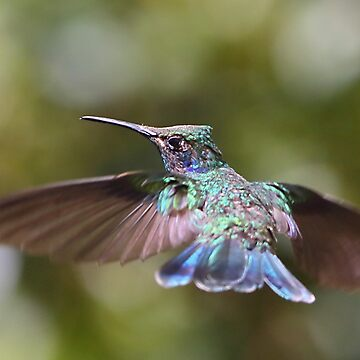 Green Violetear Hummingbird by Carole-Anne