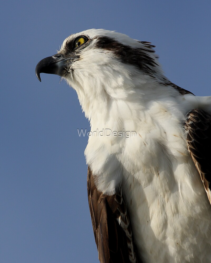 Focused Osprey by WorldDesign