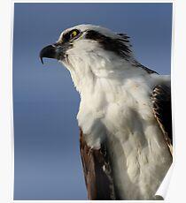 Focused Osprey Poster