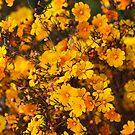 Western Australian Wildflower - Orange Stars by LifeImages