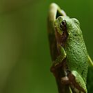 Frog by ikshvaku
