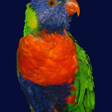 Rainbow Lorikeet by quentinjlang