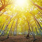 Beech forest illuminated by the bright yellow sunlight by Lukasz Szczepanski